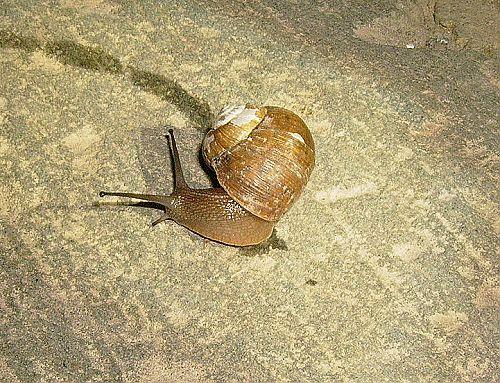 """臭壳虫_为什么""""假如蜗牛没有了壳,它的视觉、触觉、听觉、臭觉也会 ..."""